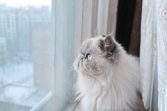 Retrato de um gato branco Fotografia de Stock