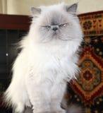 Retrato de um gato branco Foto de Stock
