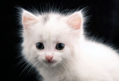 Retrato de um gato branco imagens de stock