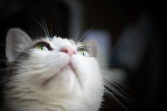 Retrato de um gato branco com olhos verdes Imagens de Stock