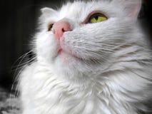 Retrato de um gato branco com os olhos verdes que olham acima Fotos de Stock Royalty Free