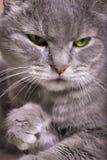 Retrato de um gato cinzento com olhos brilhantes Fotografia de Stock Royalty Free