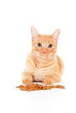 Retrato de um gato com alimentação Imagens de Stock Royalty Free