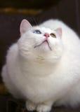 Retrato de um gato com olhos diferentes Imagem de Stock