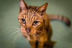 Retrato de um gato de Brown em um fundo verde Imagens de Stock
