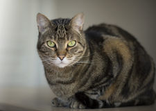Retrato de um gato de gato malhado bonito Imagens de Stock