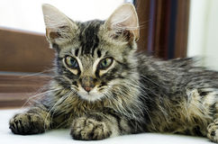 Retrato de um gato de gato malhado do bebê que encontra-se no assoalho interno Imagem de Stock Royalty Free