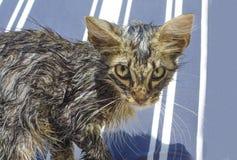 Retrato de um gato de gato malhado molhado após um banho na linha azul e branca Fotos de Stock Royalty Free