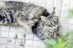 Retrato de um gato de gato malhado surpreendido que encontra-se no assoalho exterior Fotografia de Stock