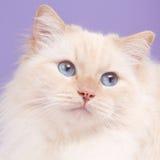 Retrato de um gato do ragdoll Imagens de Stock Royalty Free