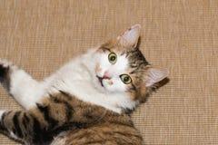 Retrato de um gato doméstico imagens de stock royalty free