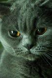 Retrato de um gato Focinho lustroso do gato Gato da raça - Ingleses Shorthair Gato sério Imagem de Stock Royalty Free