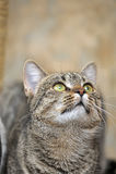Retrato de um gato listrado Fotografia de Stock Royalty Free