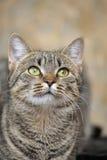 Retrato de um gato listrado Imagem de Stock Royalty Free