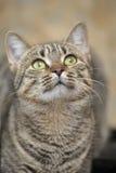 Retrato de um gato listrado Imagens de Stock