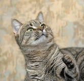 Retrato de um gato listrado Imagens de Stock Royalty Free