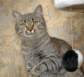 Retrato de um gato listrado Fotografia de Stock