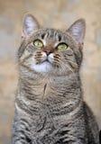 Retrato de um gato listrado Foto de Stock