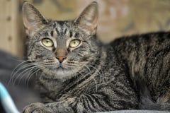 Retrato de um gato listrado Fotos de Stock