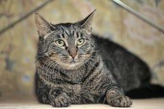 Retrato de um gato listrado Imagem de Stock