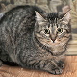 Retrato de um gato listrado Foto de Stock Royalty Free