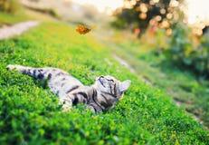 Retrato de um gato listrado bonito que encontra-se na grama em um prado ensolarado e que olha uma borboleta alaranjada do voo bon imagem de stock royalty free