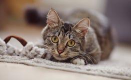 Retrato de um gato listrado com olhos amarelos Fotos de Stock Royalty Free