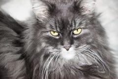 Retrato de um gato macio Fotos de Stock