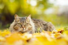 Retrato de um gato macio bonito que encontra-se na folha amarela caída, animal de estimação que anda na natureza no outono foto de stock royalty free