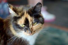 Retrato de um gato macio manchado de olhos verdes Imagens de Stock