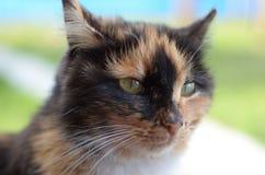 Retrato de um gato macio manchado de olhos verdes Imagem de Stock Royalty Free