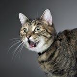 Retrato de um gato de gato malhado amedrontado Imagem de Stock