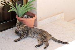 Retrato de um gato de gato malhado bonito que lambe sua pata fotografia de stock royalty free