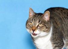 Retrato de um gato de gato malhado cinzento e branco em miar azul do fundo fotos de stock royalty free