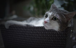 Retrato de um gato na cesta relaxado Fotografia de Stock