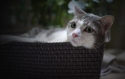 Retrato de um gato na cesta relaxado Imagens de Stock Royalty Free