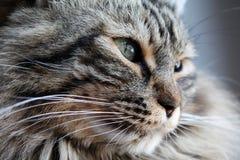 Retrato de um gato norueguês Imagens de Stock Royalty Free