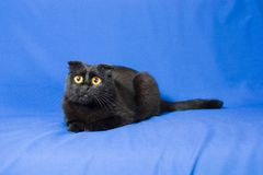 Retrato de um gato de orelhas caídas escocês preto novo com olhos grandes Fotos de Stock Royalty Free