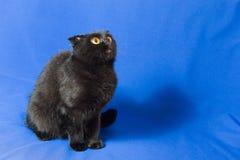 Retrato de um gato de orelhas caídas escocês preto novo com olhos grandes Fotografia de Stock