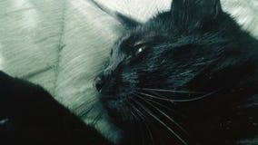 Retrato de um gato preto Fotos de Stock Royalty Free