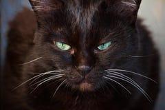 Retrato de um gato preto Imagens de Stock Royalty Free
