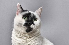 Retrato de um gato preto e branco foto de stock royalty free