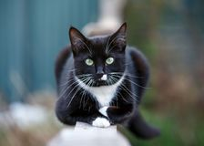 Retrato de um gato preto e branco que senta-se na cerca foto de stock royalty free