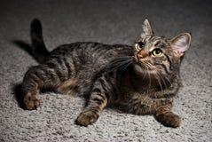 Retrato de um gato que encontra-se no tapete Imagens de Stock Royalty Free