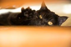 Retrato de um gato scottish, gato de Shorthair A vista de um gato Olho do ` s do gato Fotografia de Stock Royalty Free