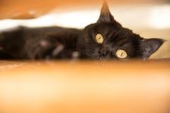 Retrato de um gato scottish, gato de Shorthair A vista de um gato Olho do ` s do gato Imagem de Stock Royalty Free