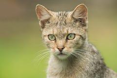 Retrato de um gato selvagem Fotos de Stock Royalty Free