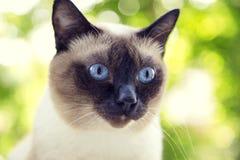 Retrato de um gato Siamese em um fundo verde do verão Selectiv Imagem de Stock Royalty Free