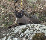 Retrato de um gato Siamese no jardim Close up de um gato, com Fotografia de Stock Royalty Free