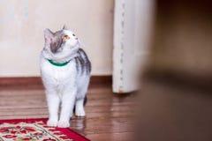 Retrato de um gato Siberian bonito que olha acima imagens de stock royalty free